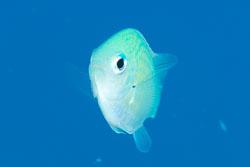 BD-100923-St-Johns-2201-Chromis-viridis-(Cuvier.-1830)-[Blue-green-damselfish].jpg